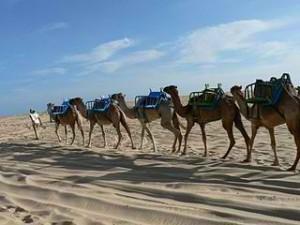 Genipabu Beach and Dunes camels
