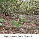 Largest Cashew Tree In the World Found in Natal Brazil