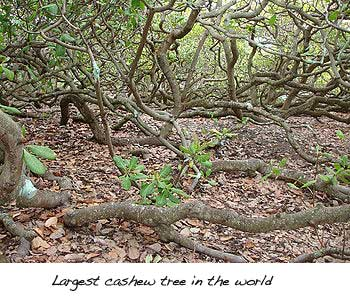 largest cashew tree