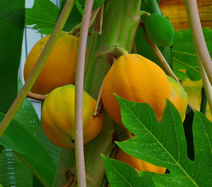 brazil-fruit-papaya
