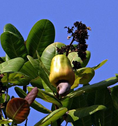 cashew-nuts-brazil